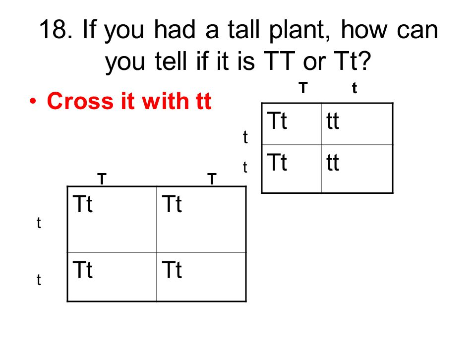 18. If you had a tall plant, how can you tell if it is TT or Tt? Cross it with tt Tttt Tttt Tt T T T t tttt tttt