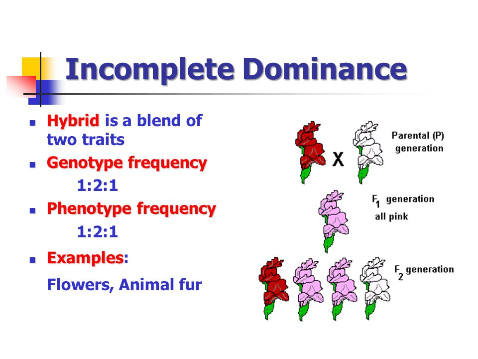 Incomplete Dominance Hybrid Hybrid is a blend of two traits Genotype frequency Genotype frequency 1:2:1 Phenotype frequency Phenotype frequency 1:2:1 Examples Examples: Flowers, Animal fur
