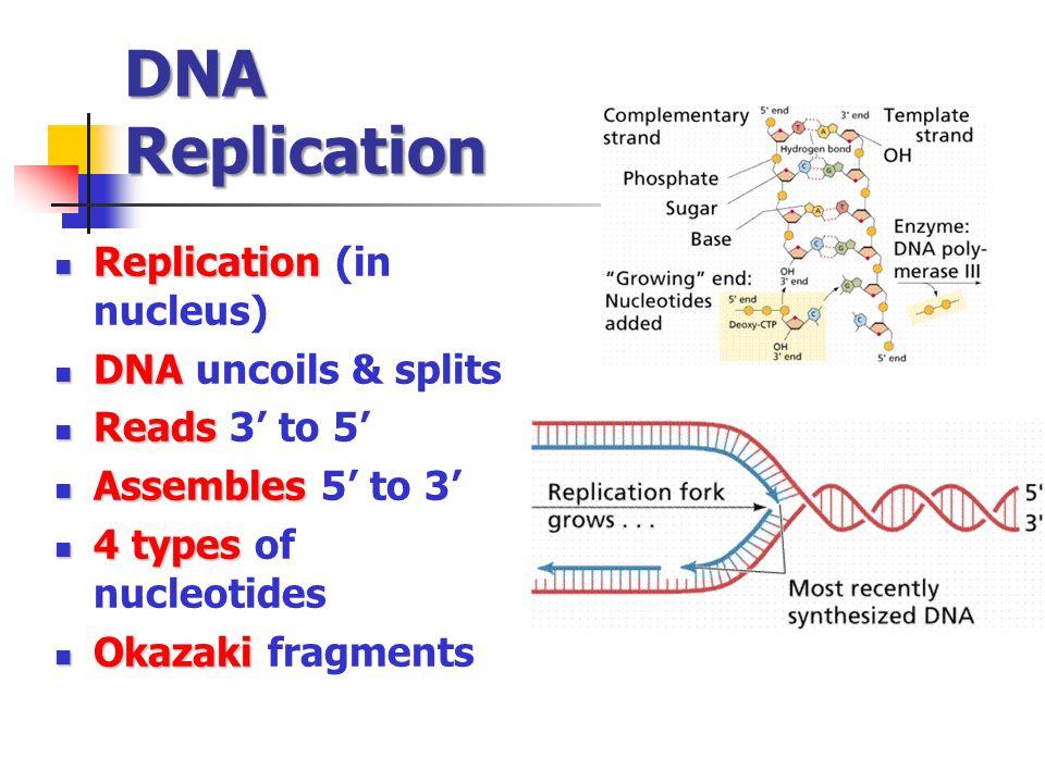 DNA Replication Replication Replication (in nucleus) DNA DNA uncoils & splits Reads Reads 3 to 5 Assembles Assembles 5 to 3 4 types 4 types of nucleotides Okazaki Okazaki fragments