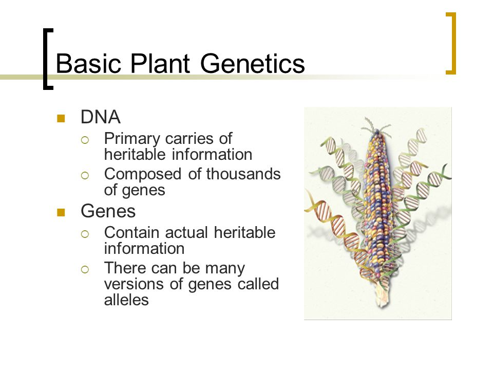 Basic Plant Genetics DNA Primary carries of heritable information Composed of thousands of genes Genes Contain actual heritable information There can