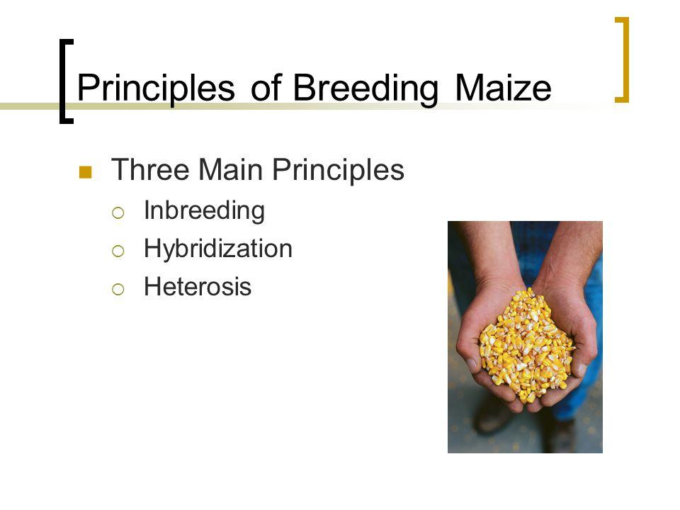 Principles of Breeding Maize Three Main Principles Inbreeding Hybridization Heterosis