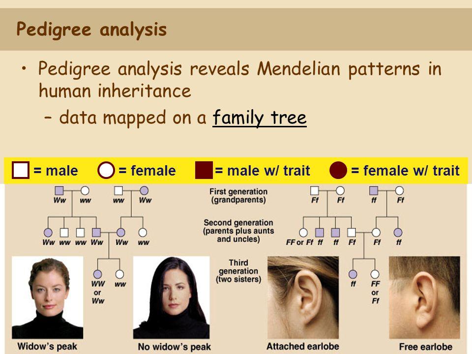Pedigree analysis Pedigree analysis reveals Mendelian patterns in human inheritance –data mapped on a family tree = male= female= male w/ trait = fema
