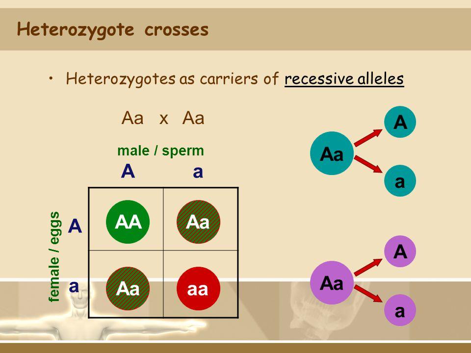 Heterozygote crosses Aa x Aa Aa male / sperm A a female / eggs AA Aaaa Aa A a A a AAAaaaAa Heterozygotes as carriers of recessive alleles