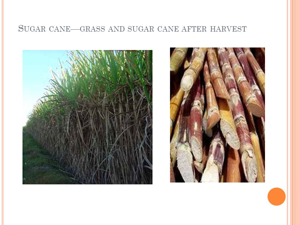 S UGAR CANE GRASS AND SUGAR CANE AFTER HARVEST