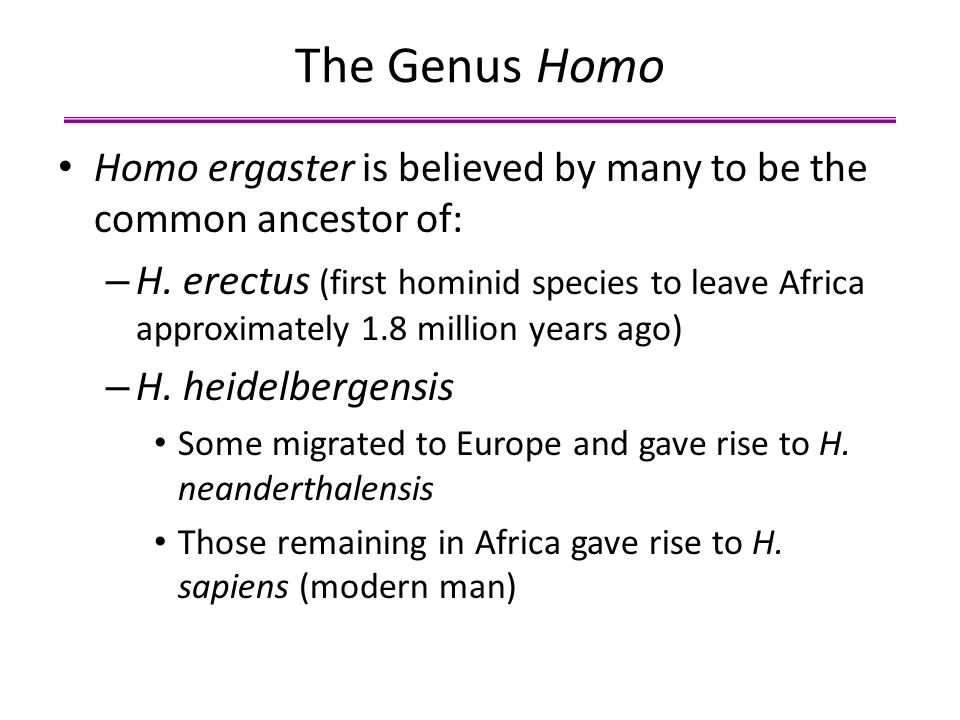The Genus Homo Homo ergaster is believed by many to be the common ancestor of: – H. erectus (first hominid species to leave Africa approximately 1.8 m
