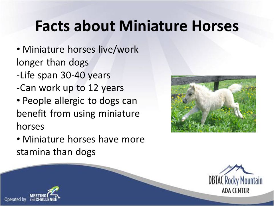Picture of fluffy mini horse Facts about Miniature Horses Miniature horses live/work longer than dogs -Life span years -Can work up to 12 years People allergic to dogs can benefit from using miniature horses Miniature horses have more stamina than dogs