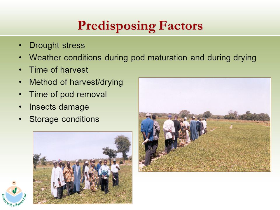 Predisposing Factors Drought stress Weather conditions during pod maturation and during drying Time of harvest Method of harvest/drying Time of pod removal Insects damage Storage conditions