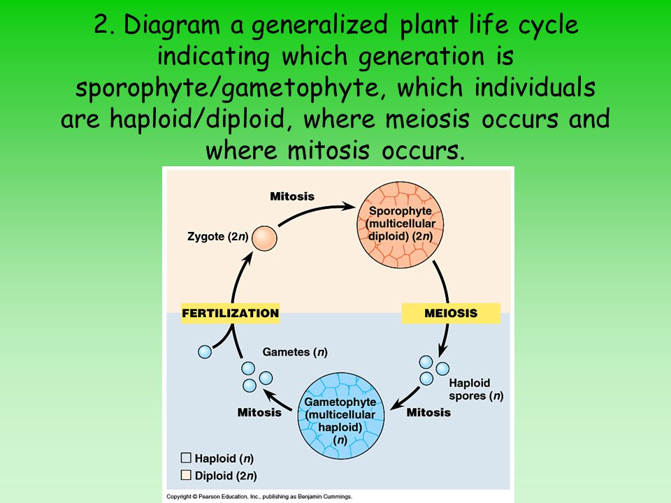 2. Diagram a generalized plant life cycle indicating which generation is sporophyte/gametophyte, which individuals are haploid/diploid, where meiosis