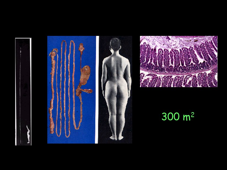 Ig producing cells in physiological conditions mice 0 2 4 6 8 10 12 14 16 PP humans 0 1.000 2.000 3.000 4.000 5.000 6.000 mLN 10 10 plasm cells BM Spleen LN, SPL, BM gut 10 6 plasm cells gut