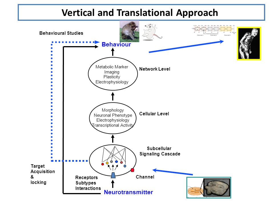 Vertical and Translational Approach Neurotransmitter Receptors Subtypes Interactions Channel Subcellular Signaling Cascade Morphology Neuronal Phenotype Electrophysiology Transcriptional Activity Network Level Behaviour Cellular Level Metabolic Marker Imaging Plasticity Electrophysiology Target Acquisition & locking Behavioural Studies