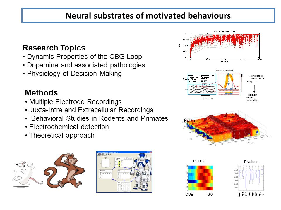 Methods Multiple Electrode Recordings Juxta-Intra and Extracellular Recordings Behavioral Studies in Rodents and Primates Electrochemical detection Theoretical approach Neural substrates of motivated behaviours Research Topics Dynamic Properties of the CBG Loop Dopamine and associated pathologies Physiology of Decision Making CUE GO 025%33%40%60%67%75%100% PETHs P values PETHs Raster Peth Cue Go Analysis method 200 ms Normalisation [Response – basal] Relevant neural information