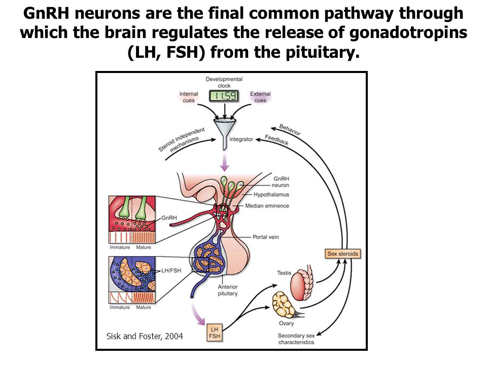 GnRH neurons are the final common pathway through which the brain regulates the release of gonadotropins (LH, FSH) from the pituitary.