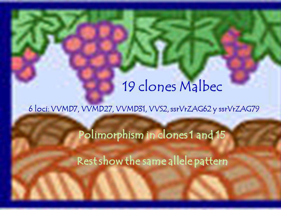 RESULTADOS Polimorphism in clones 1 and 15 Rest show the same allele pattern 19 clones Malbec 6 loci: VVMD7, VVMD27, VVMD31, VVS2, ssrVrZAG62 y ssrVrZ