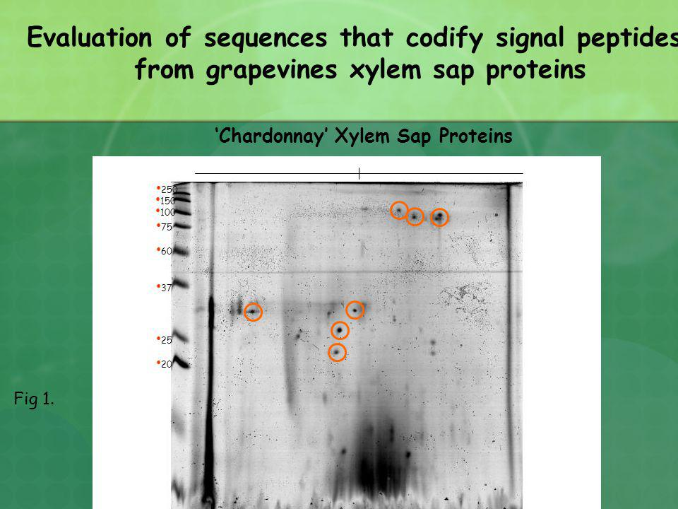 Chardonnay Xylem Sap Proteins 20 25 37 60 75 100 150 250 Evaluation of sequences that codify signal peptides from grapevines xylem sap proteins Fig 1.