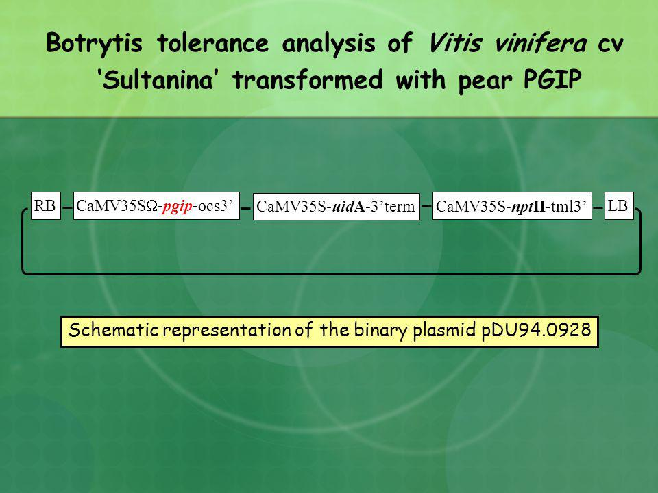 RB CaMV35S -pgip-ocs3 CaMV35S-uidA-3term CaMV35S-nptII-tml3 LB Schematic representation of the binary plasmid pDU94.0928 Botrytis tolerance analysis of Vitis vinifera cv Sultanina transformed with pear PGIP