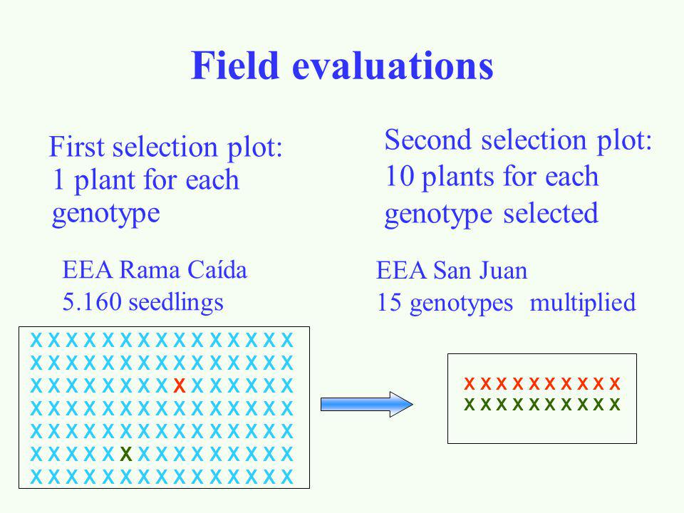 Field evaluations First selection plot: 1 plant for each genotype X X X X X X X X X X X X X X X X X X X X Second selection plot: 10 plants for each genotype selected EEA Rama Caída 5.160 seedlings EEA San Juan 15 genotypes multiplied