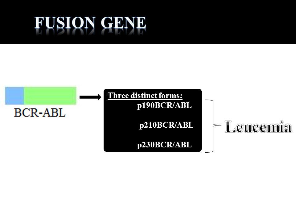 Three distinct forms: p190BCR/ABL p210BCR/ABL p230BCR/ABL