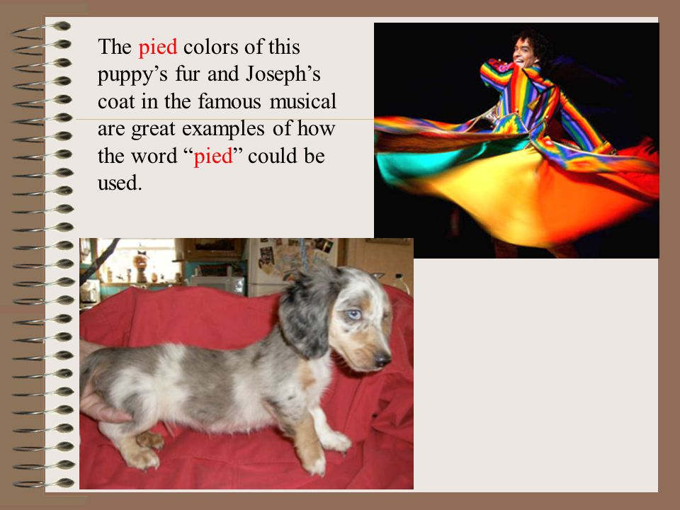 The pied colors of this puppys fur and Josephs coat in the famous musical are great examples of how the word pied could be used.