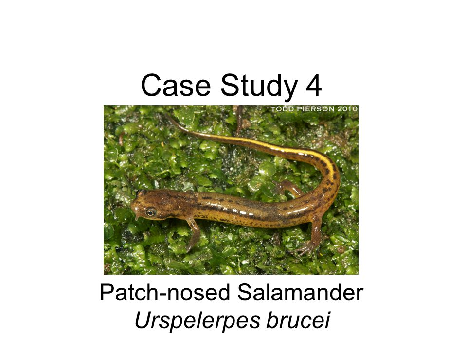 Case Study 4 Patch-nosed Salamander Urspelerpes brucei