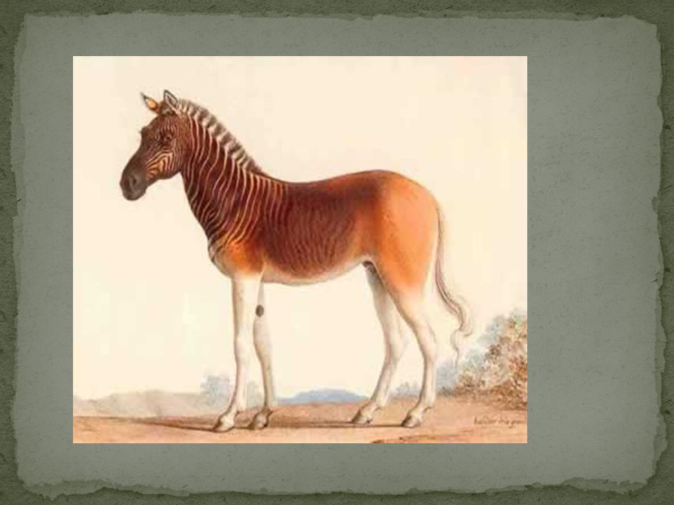 One of Africa's most famous extinct animals, the quagga was a subspecies of the plains zebra, which was once found in great numbers in South Africa