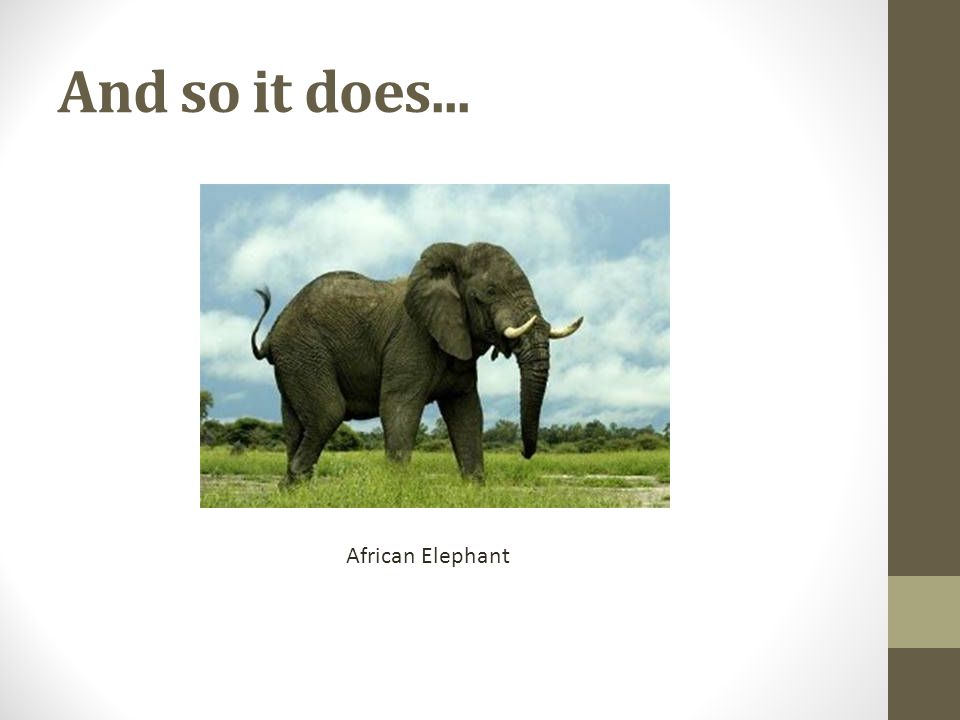 And so it does... African Elephant