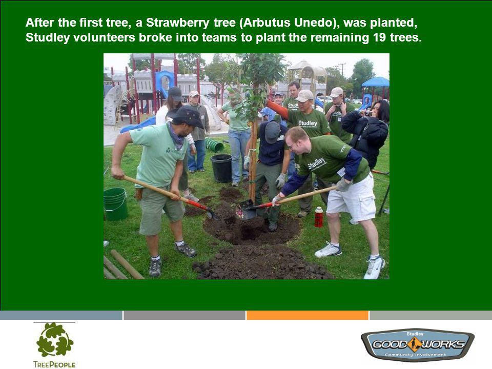 After the first tree, a Strawberry tree (Arbutus Unedo), was planted, Studley volunteers broke into teams to plant the remaining 19 trees.