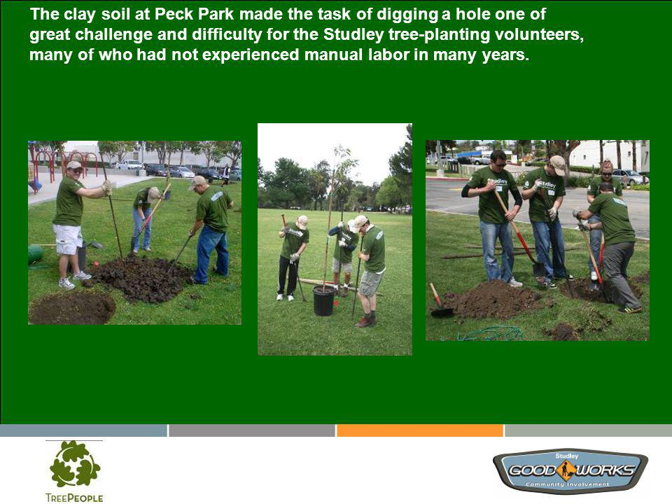 The clay soil at Peck Park made the task of digging a hole one of great challenge and difficulty for the Studley tree-planting volunteers, many of who had not experienced manual labor in many years.