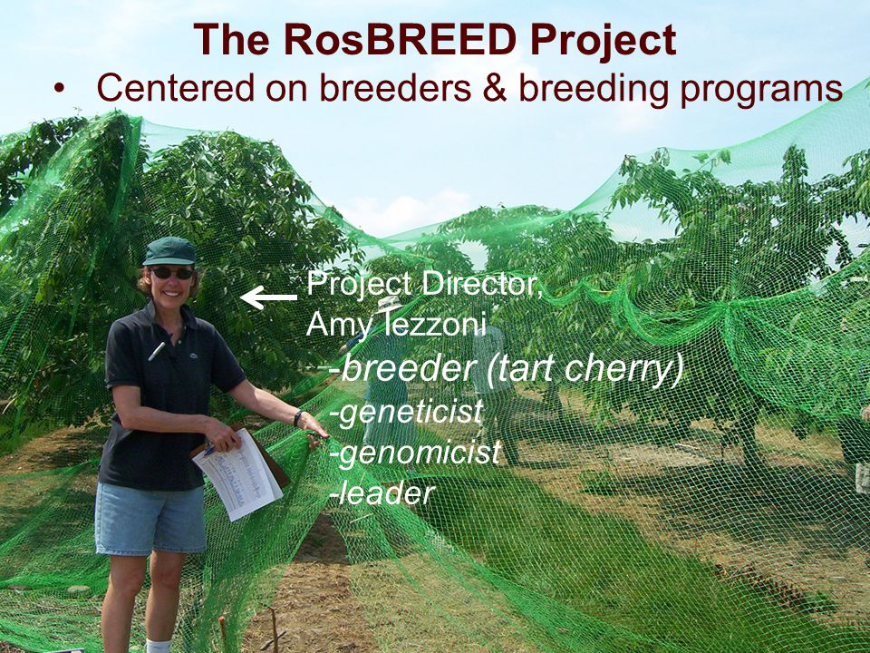 Centered on breeders & breeding programs The RosBREED Project Project Director, Amy Iezzoni -breeder (tart cherry) -geneticist -genomicist -leader