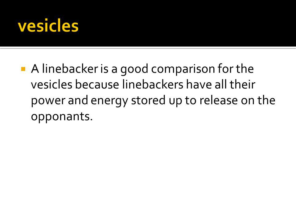 A linebacker is a good comparison for the vesicles because linebackers have all their power and energy stored up to release on the opponants.