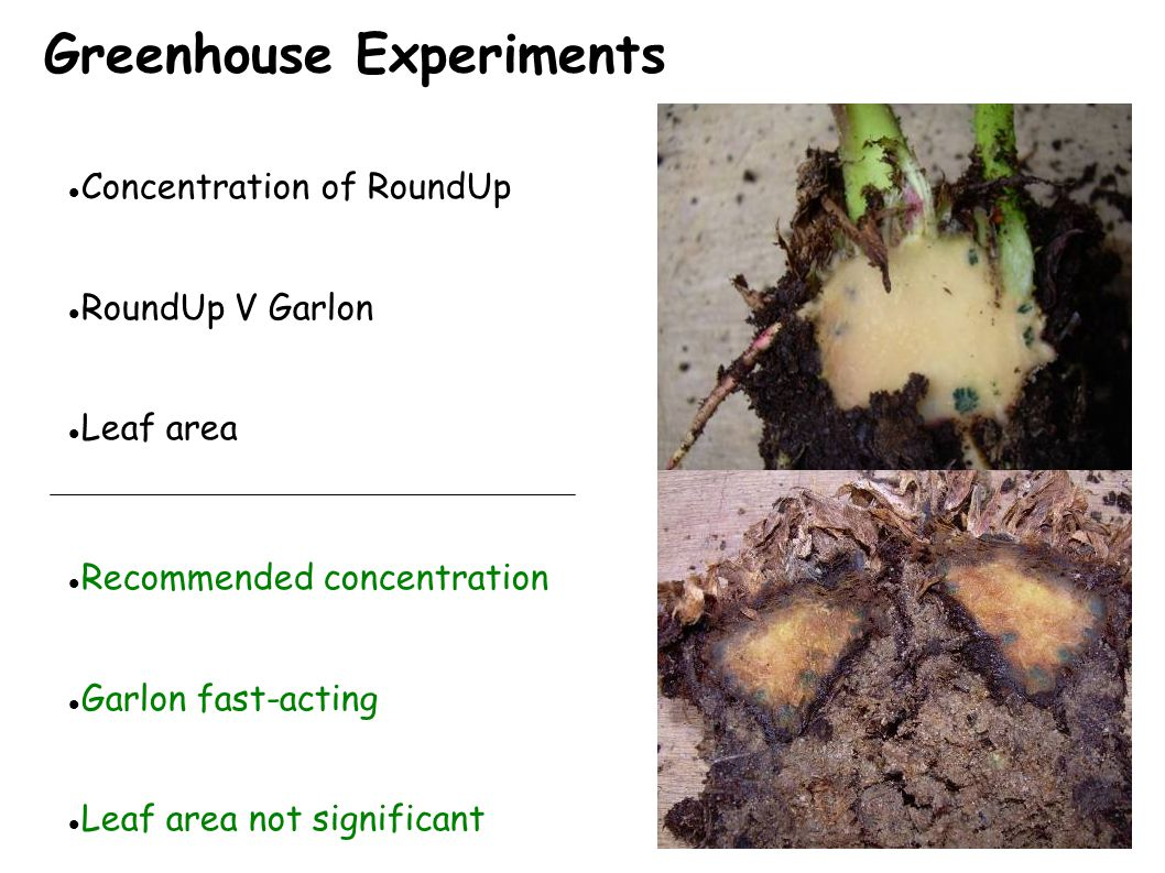 Greenhouse Experiments Before After Concentration of RoundUp RoundUp V Garlon Leaf area Recommended concentration Garlon fast-acting Leaf area not significant