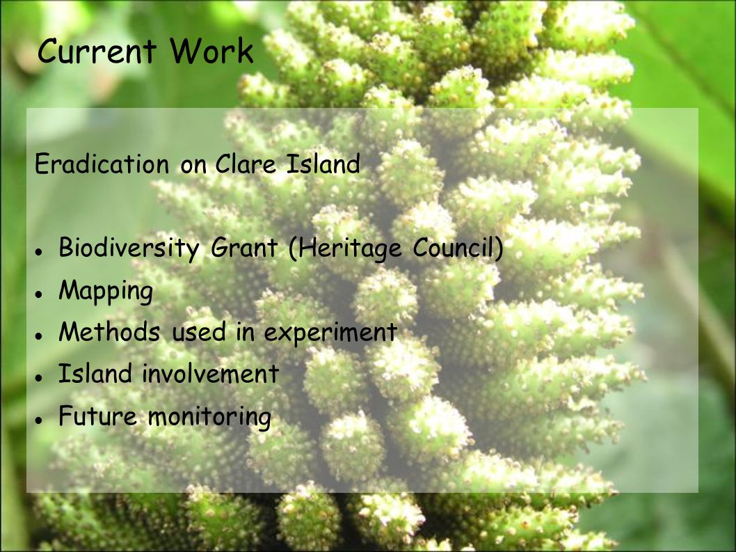 Current Work Eradication on Clare Island Biodiversity Grant (Heritage Council) Mapping Methods used in experiment Island involvement Future monitoring
