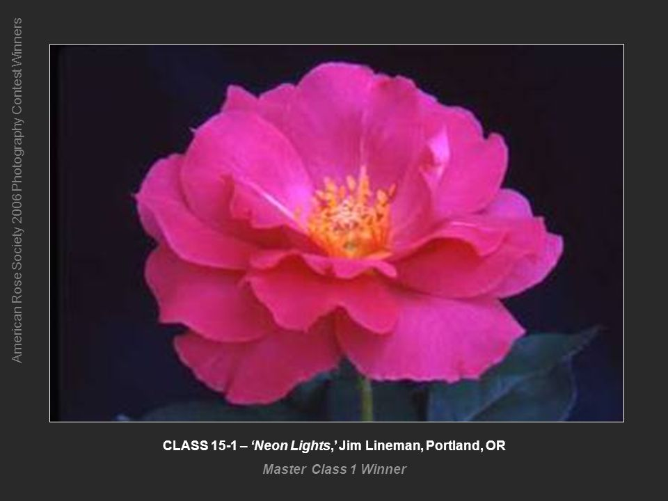 American Rose Society 2006 Photography Contest Winners CLASS 15-1 – Neon Lights, Jim Lineman, Portland, OR Master Class 1 Winner