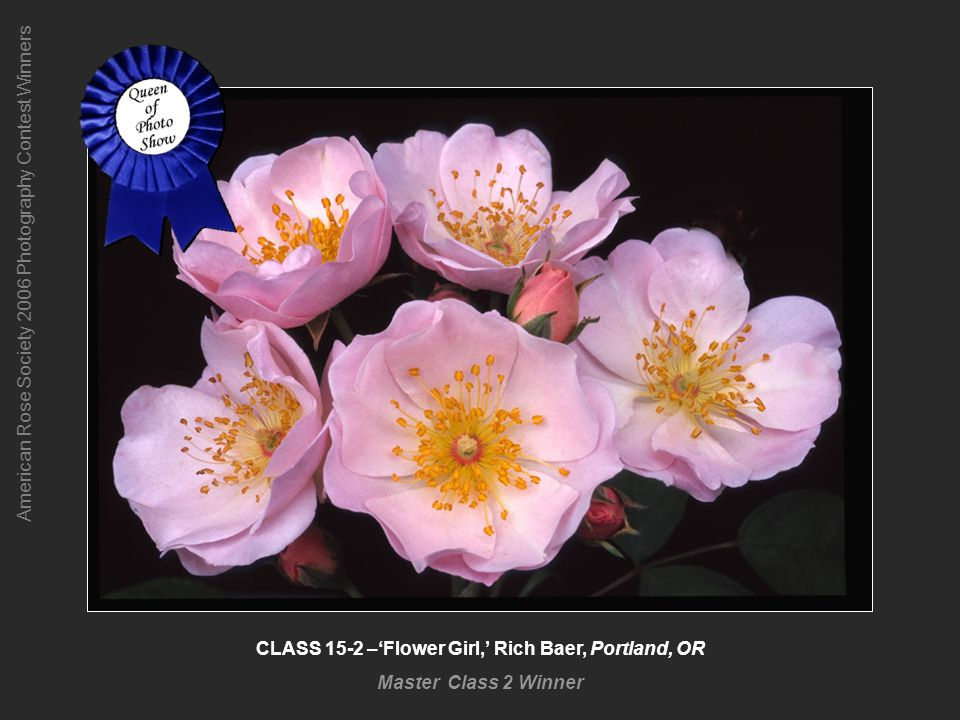American Rose Society 2006 Photography Contest Winners CLASS 15-2 –Flower Girl, Rich Baer, Portland, OR Master Class 2 Winner