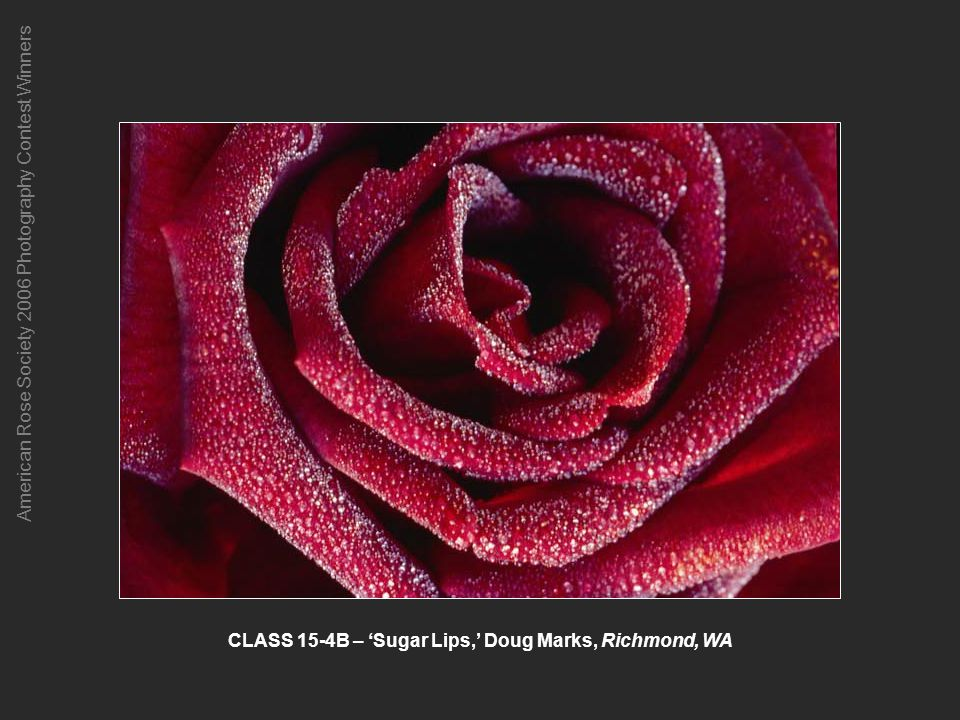 American Rose Society 2006 Photography Contest Winners CLASS 15-4B – Sugar Lips, Doug Marks, Richmond, WA