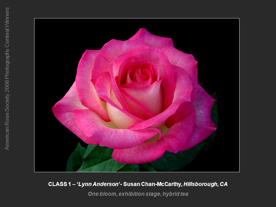 American Rose Society 2006 Photography Contest Winners CLASS 2 – Dainty Bess - David Hoeffer, Waukesha, WI One spray, grandiflora, floribunda, polyantha, or hybrid tea