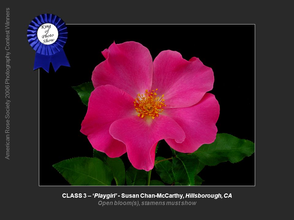 American Rose Society 2006 Photography Contest Winners CLASS 4 – Mme Plantier – Jeri Jennings, Camarillo, CA One bloom or spray of an old garden rose