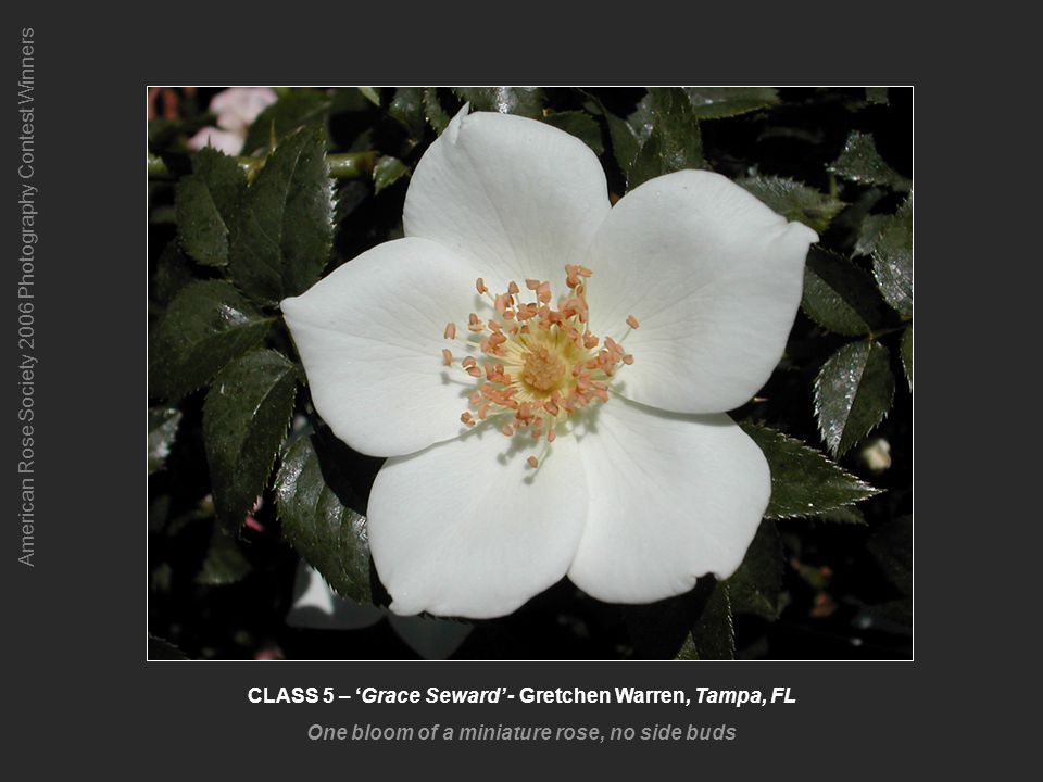 American Rose Society 2006 Photography Contest Winners CLASS 5 – Grace Seward - Gretchen Warren, Tampa, FL One bloom of a miniature rose, no side buds