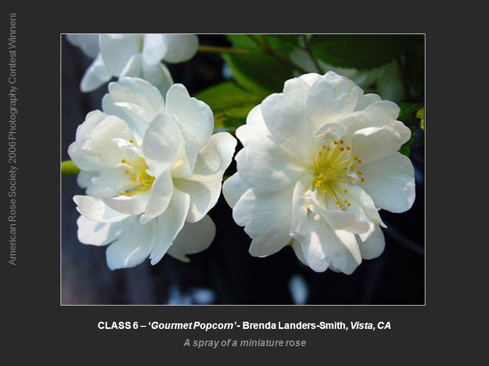 American Rose Society 2006 Photography Contest Winners CLASS 6 – Gourmet Popcorn - Brenda Landers-Smith, Vista, CA A spray of a miniature rose