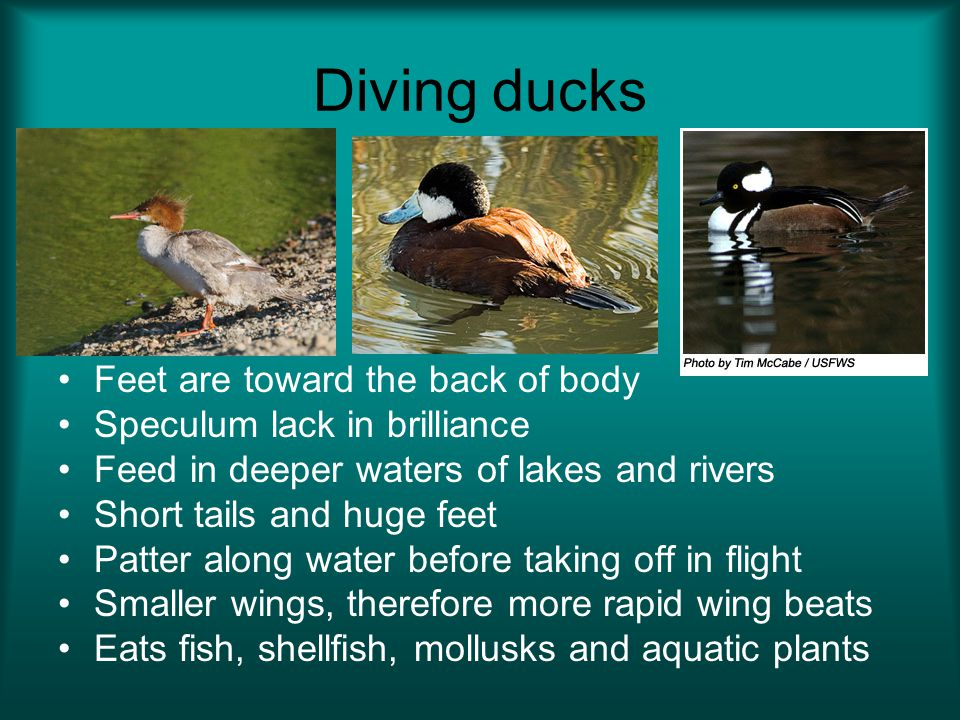 Diving ducks Feet are toward the back of body Speculum lack in brilliance Feed in deeper waters of lakes and rivers Short tails and huge feet Patter along water before taking off in flight Smaller wings, therefore more rapid wing beats Eats fish, shellfish, mollusks and aquatic plants