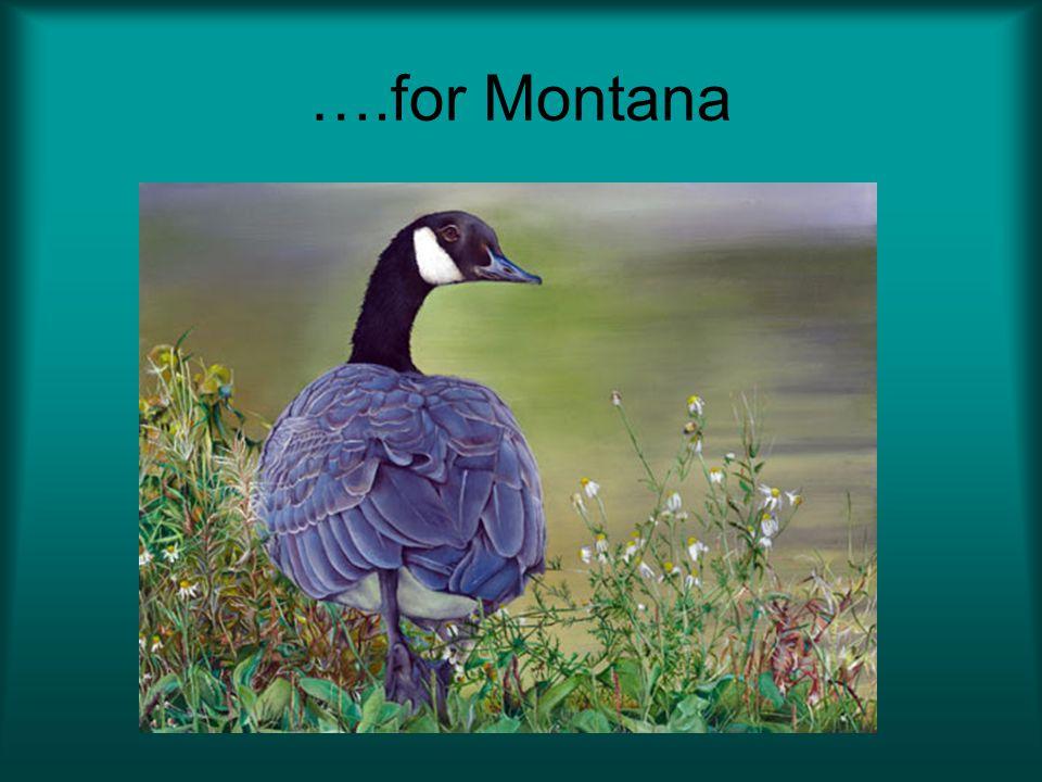 ….for Montana