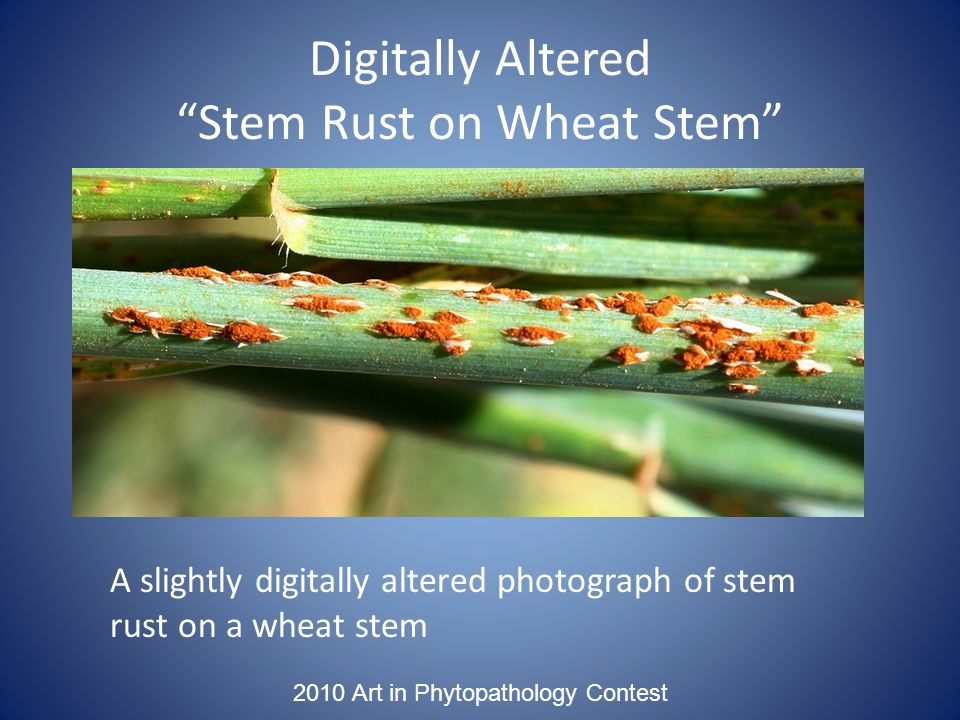 2010 Art in Phytopathology Contest Digitally Altered Stem Rust on Wheat Stem A slightly digitally altered photograph of stem rust on a wheat stem