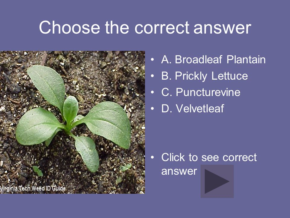 Choose the correct answer A. Broadleaf Plantain B. Prickly Lettuce C. Puncturevine D. Velvetleaf Click to see correct answer