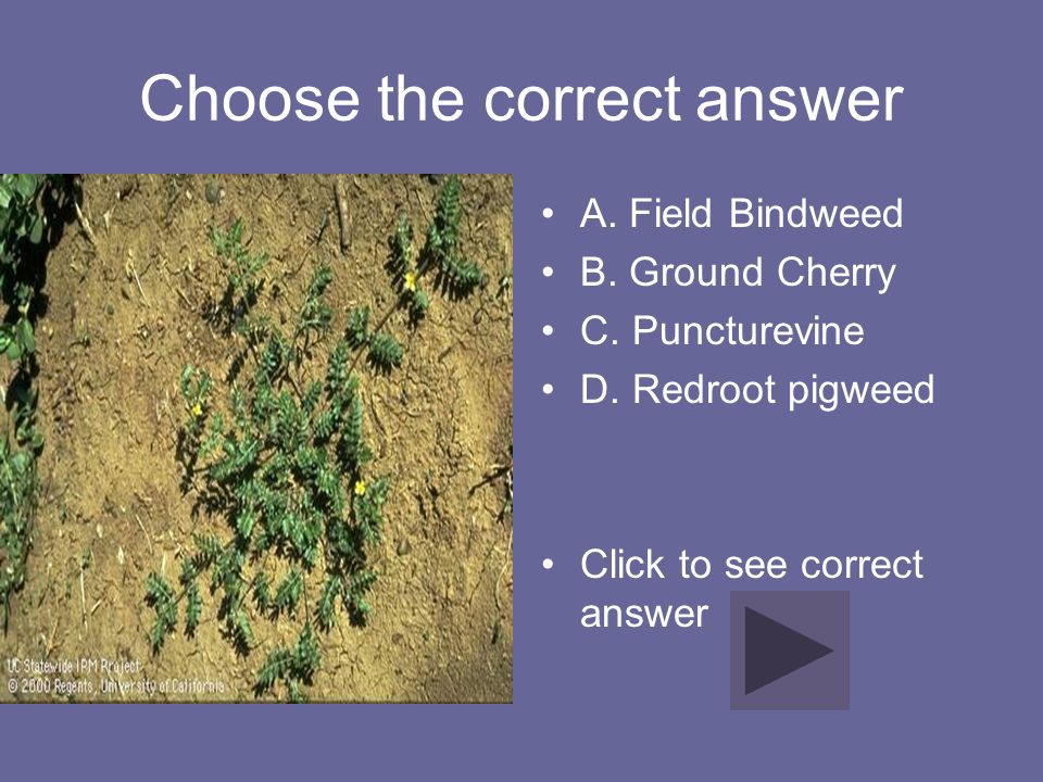 Choose the correct answer A. Field Bindweed B. Ground Cherry C. Puncturevine D. Redroot pigweed Click to see correct answer
