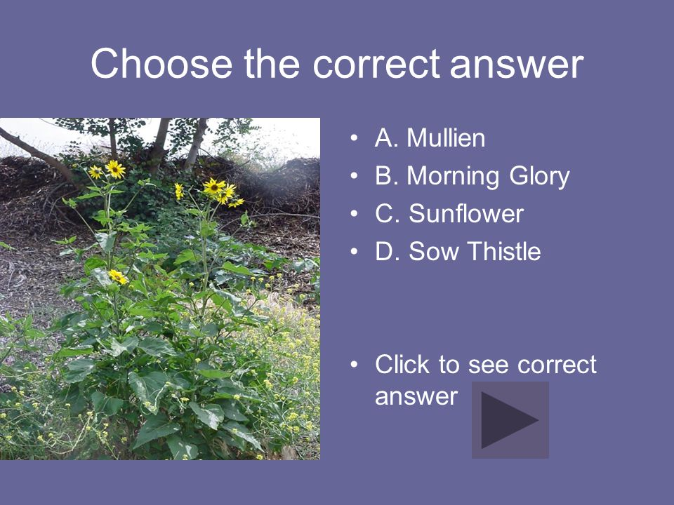 Choose the correct answer A. Mullien B. Morning Glory C. Sunflower D. Sow Thistle Click to see correct answer