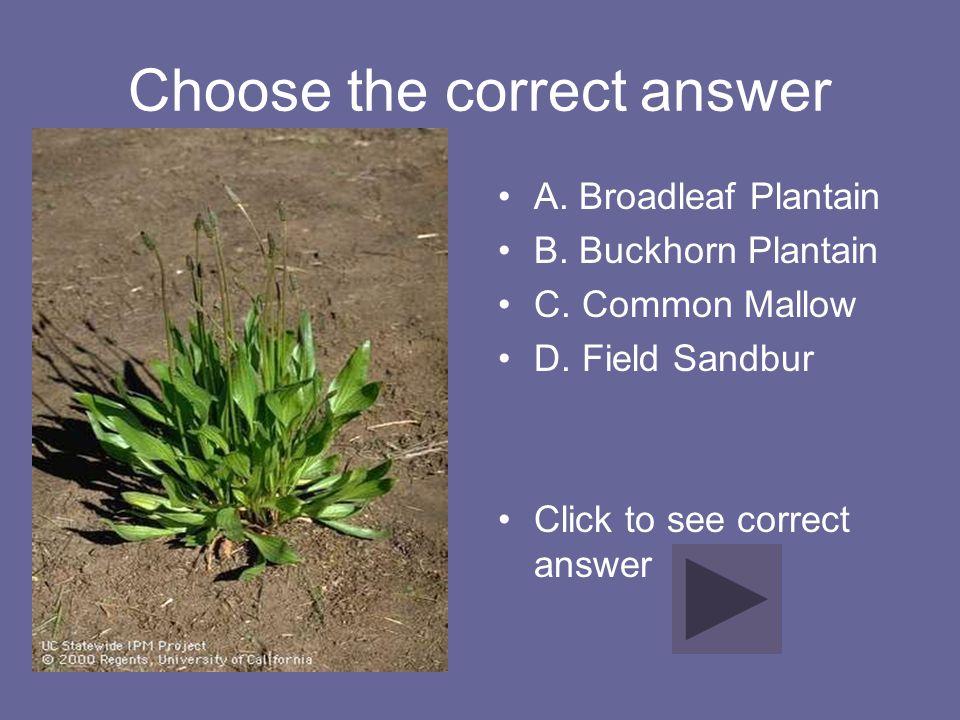 Choose the correct answer A. Broadleaf Plantain B. Buckhorn Plantain C. Common Mallow D. Field Sandbur Click to see correct answer