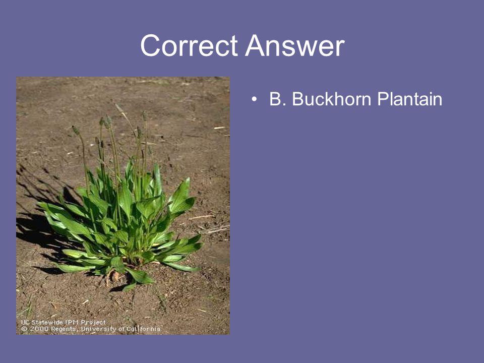 Correct Answer B. Buckhorn Plantain