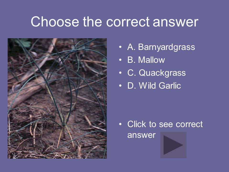 Choose the correct answer A. Barnyardgrass B. Mallow C. Quackgrass D. Wild Garlic Click to see correct answer