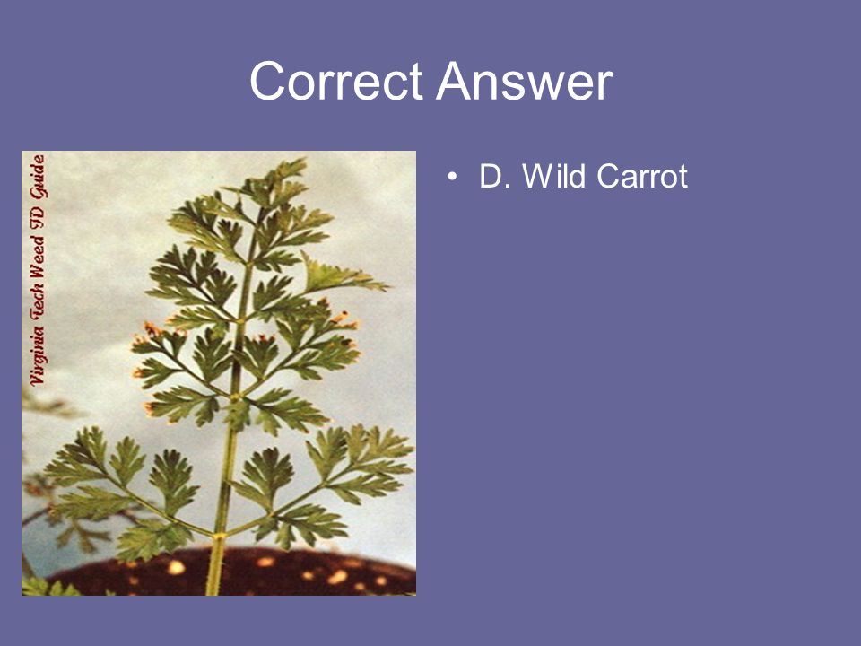 Correct Answer D. Wild Carrot