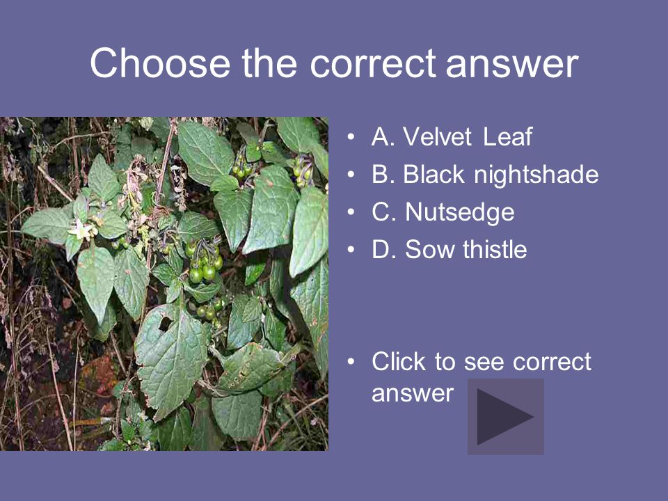 Correct Answer D. Wild Mustard
