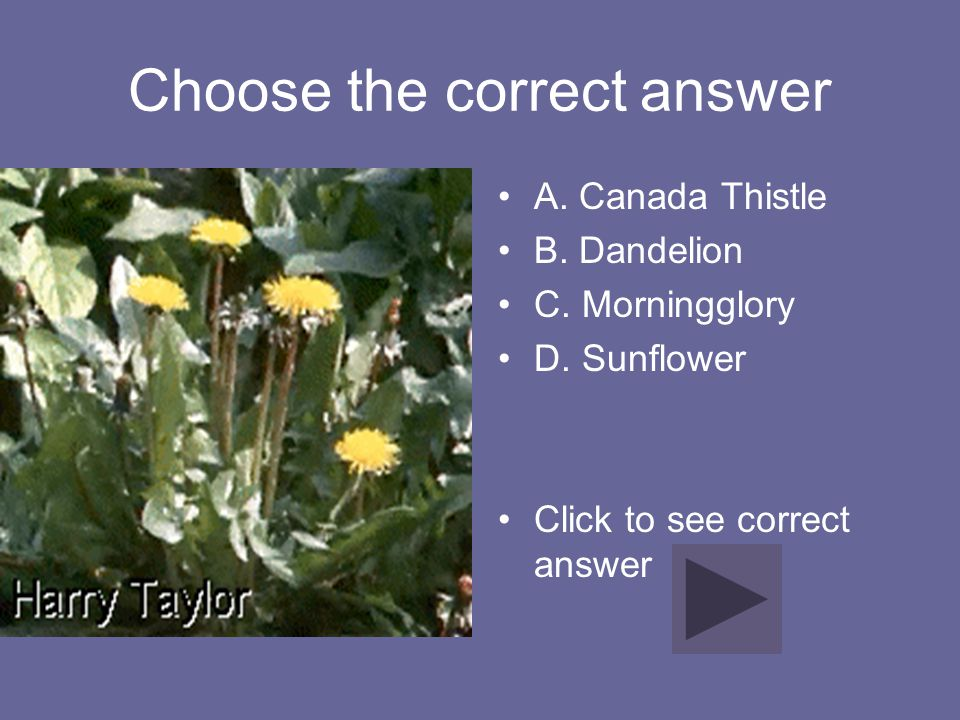 Choose the correct answer A. Canada Thistle B. Dandelion C. Morningglory D. Sunflower Click to see correct answer